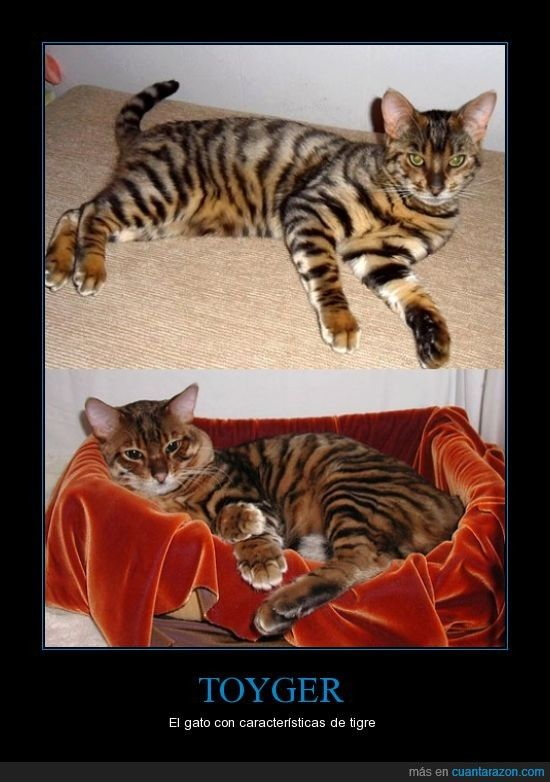TOYGER - El gato con características de tigre