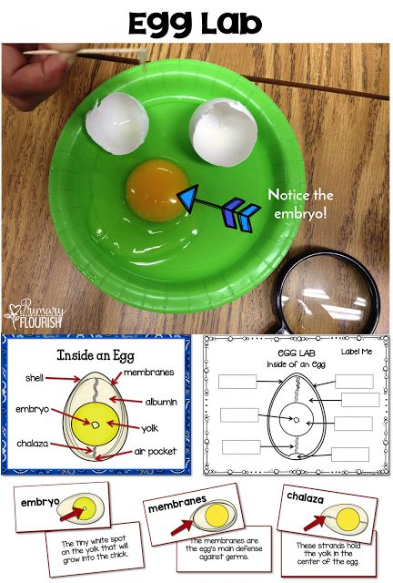 Chicken Life Cycle Science and Literacy Activities – This is a great spring unit packed with fun information and activities on the theme of the Chicken Life Cycle. This resource can be used effectively to teach about the chicken's lifecycle even if you do not hatch chicks.