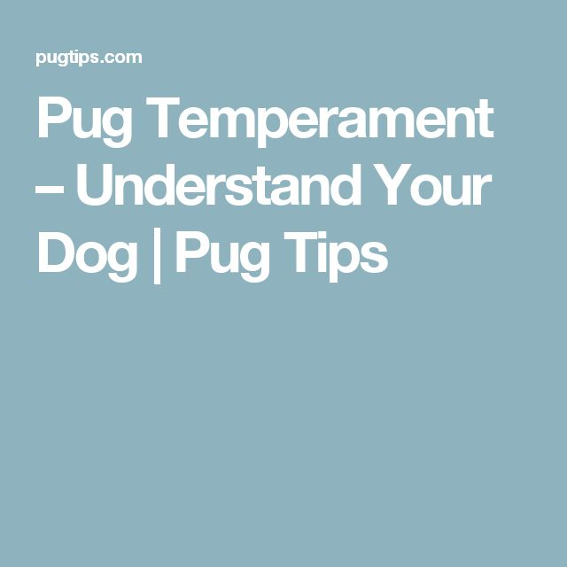 Pug Temperament – Understand Your Dog | Pug Tips