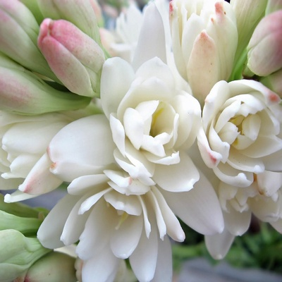 ~Tuberose - You can almost smell its beautiful scent.