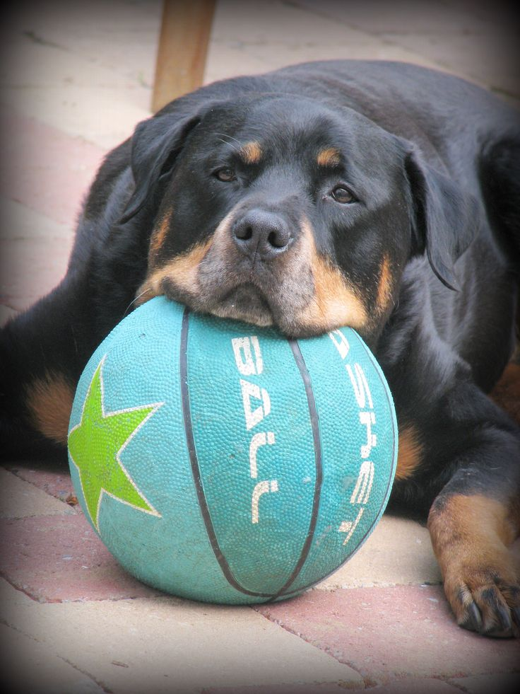 I want to play #Rottweiler
