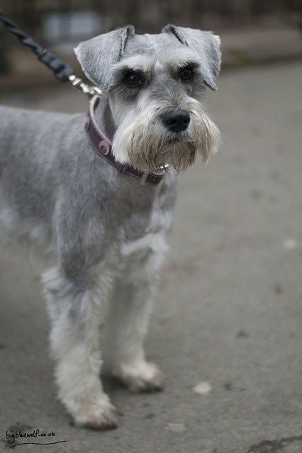 how to clean miniature schnauser mouth hairs