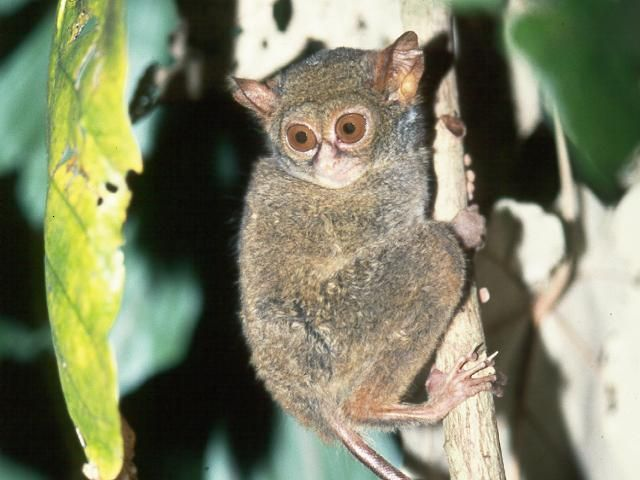 The Smallest Monkey in The world (Tarsius Spectrum) at Tangkoko Nature Reserve