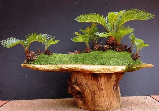 Bonsai - Cycad Forest. Specifically Cycas revoluta, or Sago palm.