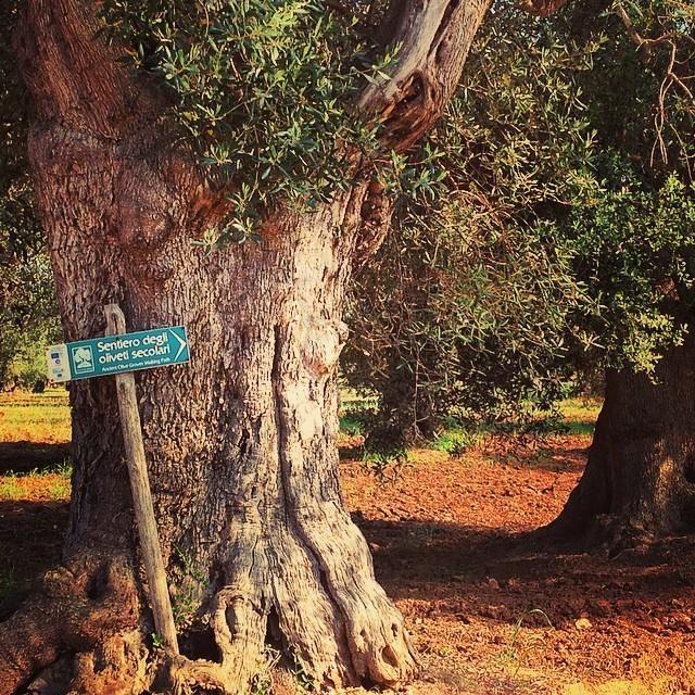 #salentowebtv #difendiamogliulivi Seguiamo il sentiero degli oliveti secolari, venite con noi?