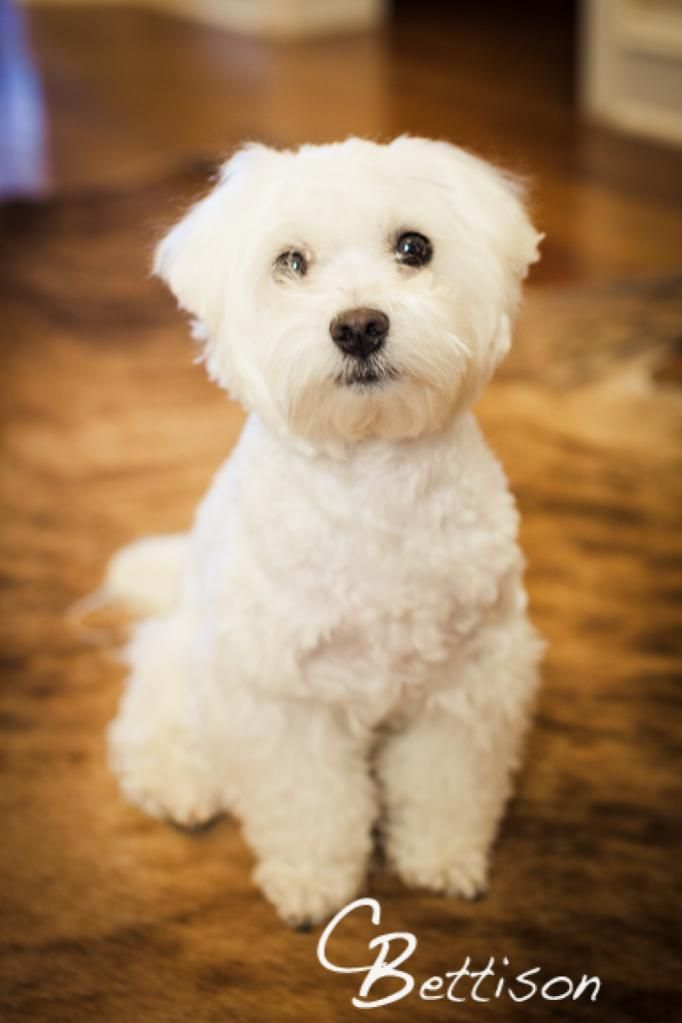 8 Best Maltese Haircuts Images On Pinterest Maltese Puppies Dog