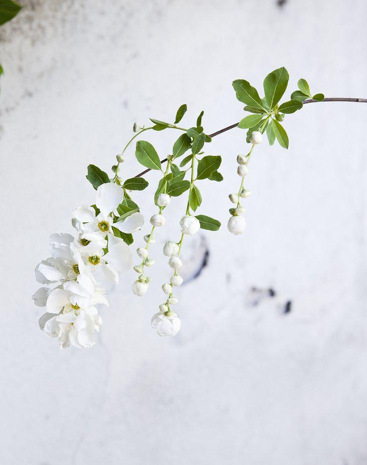 Pärlbusken, en glittrande favorit | Zetas Trädgård