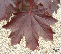 Résultats de recherche d'images pour «feuilles acer platanoides foncé»
