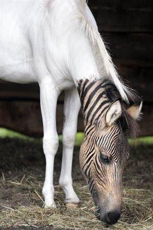 Zébroïde :Progéniture d'un zèbre et une femelle chevaline quelconque.Dans la plupart des cas d'hybrides implicant un zèbre, le zèbre est le mâle.