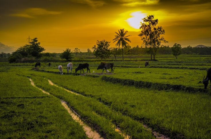 Sunset field by Vani N on 500px