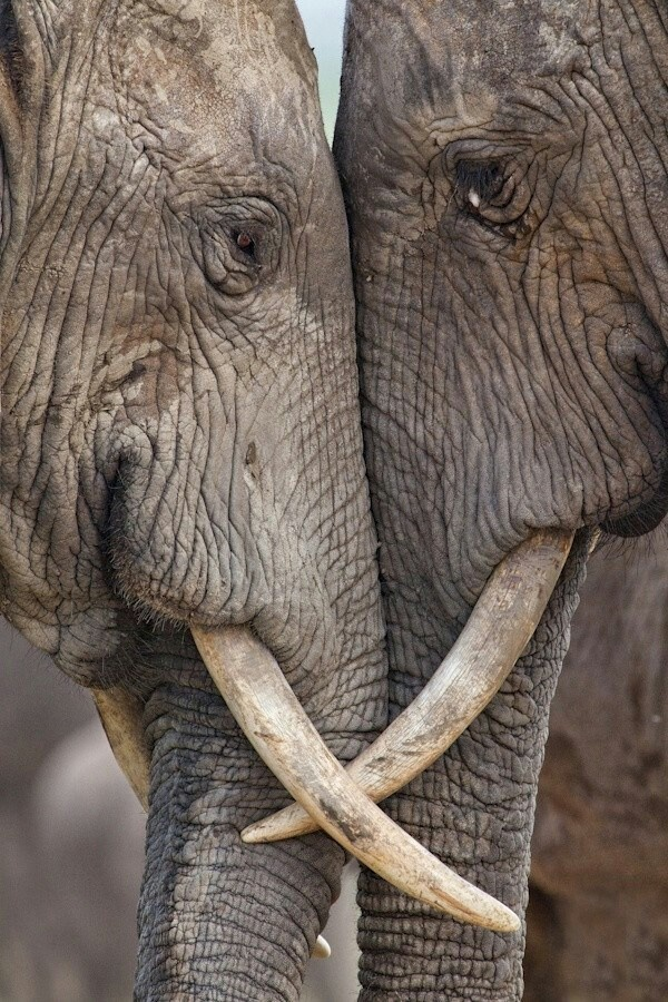 Have you ever seen two elephants in love? | Everything ... - photo#8
