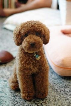 Poodle Cuts on Pinterest | 21 Pins