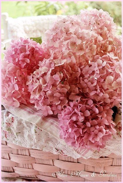 Pink import hydrangeas - columbian