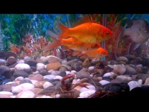 Live Crawfish for Sale  @ clawtank.com