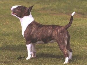 Miniature Bull Terriers - Champdogs ®