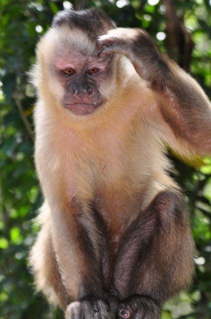 Capuchin at Monkeyland, South Africa