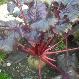 Bull's Blood organic beet seeds - Garden Seeds - Organic Vegetable Seeds