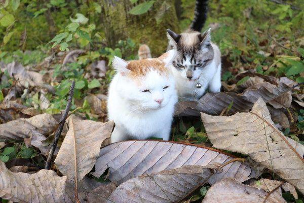 朴の木の枯れ葉 - かご猫 Blog