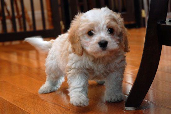 cavachon - my next puppy!