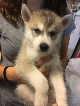 Litter Of 8 Siberian Husky Puppies For Sale In Joplin Mo Adn 56014