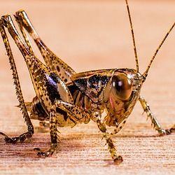 heuschrecke, grashüpfer, heupferd, insekt