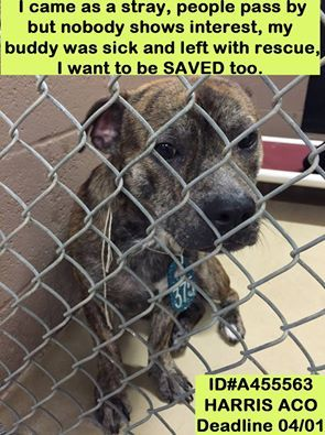 ~~dies Friday, 04/01/16!!~~HOUSTON -  Houston, Save Lives is our Mission with Arlene Dollar Junek and 6 others at County of Harris: Veterinary Public Health. 15 mins ·  **HAVE 24 HRS TO MAKE IT ALIVE** HE HAS $500 IN DONATIONS FOR A RESCUE WHO CAN SAVE HIM!! this BRINDLE LITTLE DOG CAME WITH ANOTHER BOY WHO WAS SICK AND WAS PULLED TODAY** this baby came impound with another dog who was sick, he needed to be saved and thankfully is out now, but his pal who was in better shape and in another…