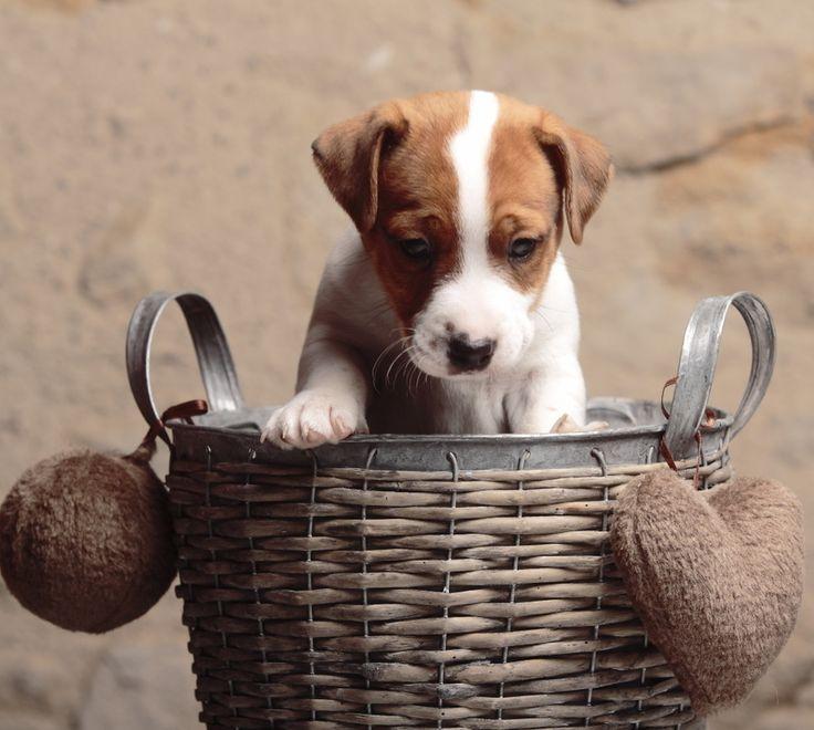 44 best race de chien images on pinterest dog animals and dog breeds. Black Bedroom Furniture Sets. Home Design Ideas