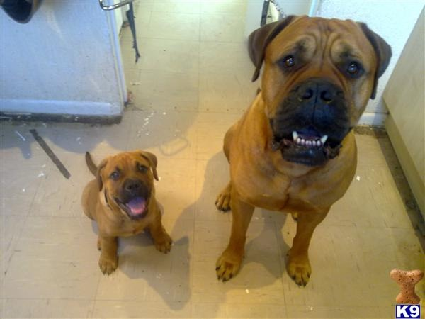 English Bull Mastiff pup and parent. I recently pet sat for two lovely Bull Mastiff's who are still puppies at 120 and 108 pounds!