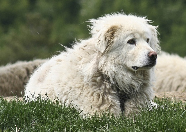 Pastore Maremmano Abruzzese .... you guessed it, an Italian breed. A sheep herding dog, matures to 65-80 lbs.