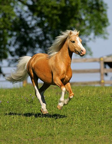 The Welsh Pony is a breed of pony that originated in Wales in the United Kingdom.