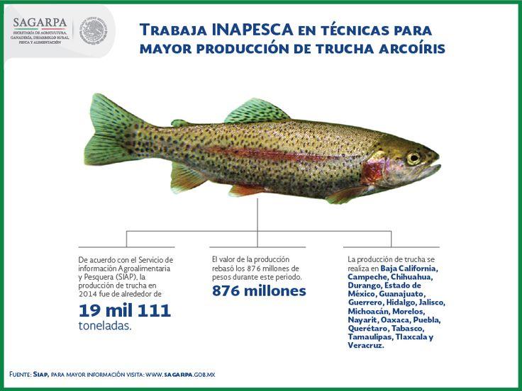 Especialistas del Instituto Nacional de Pesca (INAPESCA) trabajan en nuevas técnicas para la conservación de semen de trucha arcoíris (Oncorhynchus mykiss), a fin de mejorar los procesos de producción e incrementar los niveles de calidad y disponibilidad de esta especie de interés comercial. SAGARPA SAGARPAMX