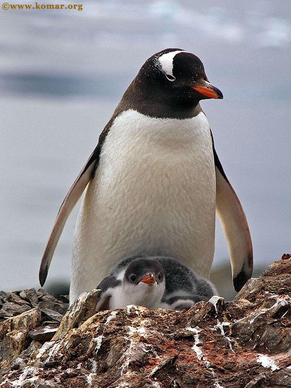 baby gentoo penguin chicks antarctica sequence 1