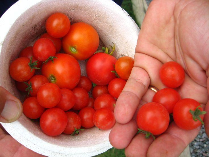 se siembran en las jardineras elevadas tomate enano