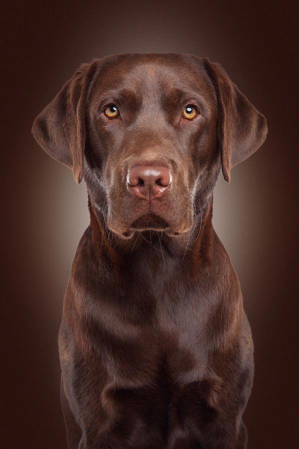 Quentyn By Daniel Hohlfeld On 500px Www Fotoatelier Berlin De Auftrag Tier Fotoshooting Labrador Hunde Hunde Fotos Tiere