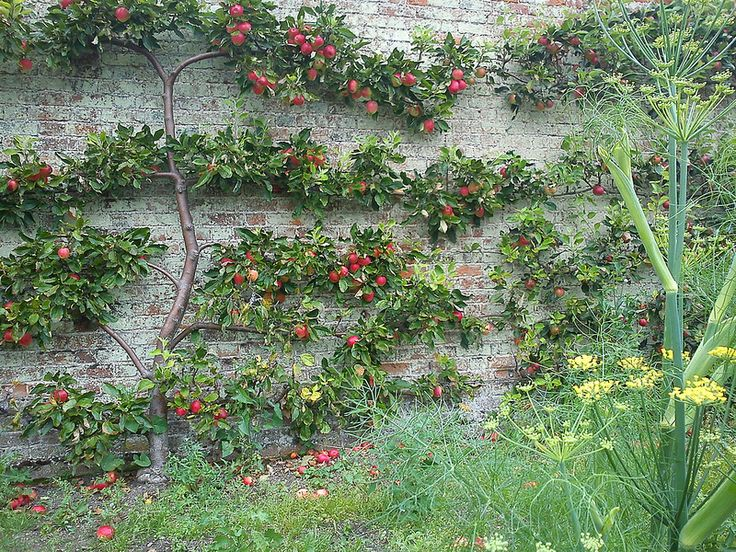 Espaliered Apple Tree And Fennel   Flickr   Photo Sharing!