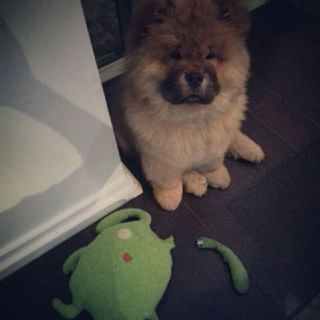 This dude who has no idea what happened, Officer. | 31 Chow Chow Puppies To Make Your Day A Little Fuzzier