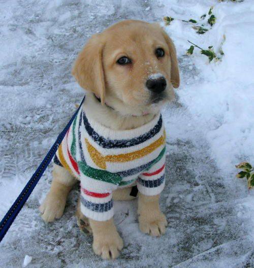 this is like, my dream - an adorable puppy wearing a hudson's bay sweater!