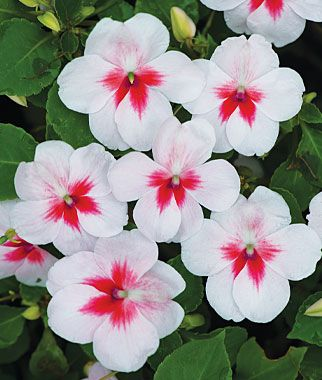 Impatiens, Cherry Splash: Utterly demure light pink blossoms that seem to have come from a Japanese teacup. Prettily highlighted with large cherry eyes. One of the components in the Tokyo Spring mix, offered as a separate color.