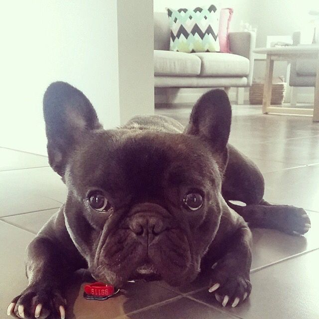 Barkley x  #frenchbulldog
