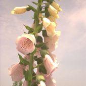 Foxglove Plants - Toxic but Foxy Flowers