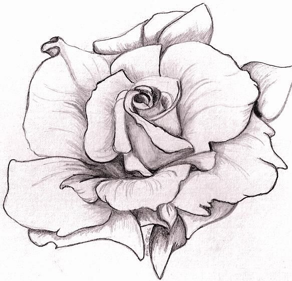 17 Best images about rose drawings on Pinterest | Realistic rose ...