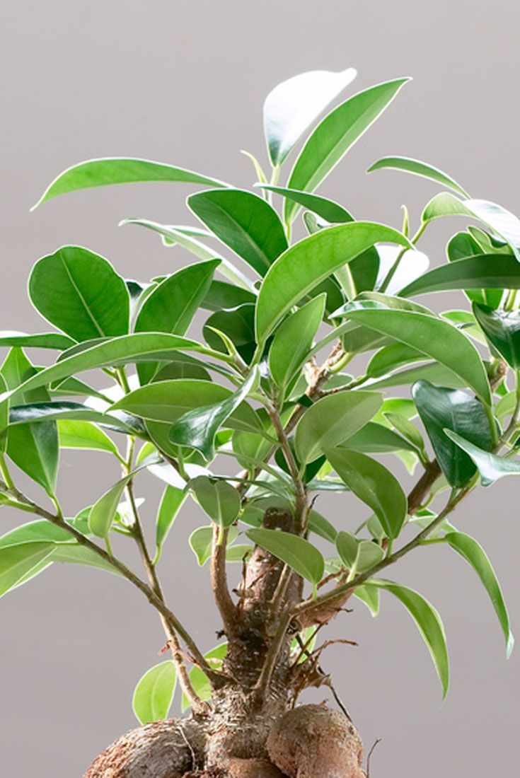 Win a Ficus Ginseng Bonsai #xmas PRIZE DRAW today! http://www.gardeningexpress.co.uk/ProductDetails.asp?ProductID=4351  Win an #iPad in our main draw.