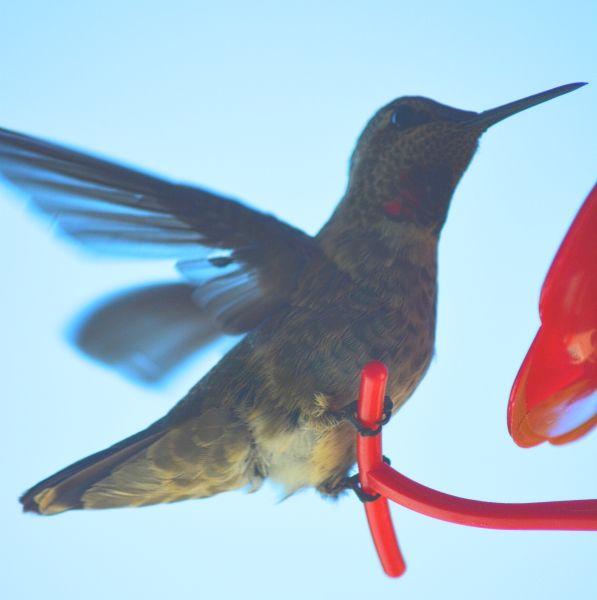Humminbirds,  beautiful visitors to a backyard.  Sergio http://WestSacramentoNotary.com