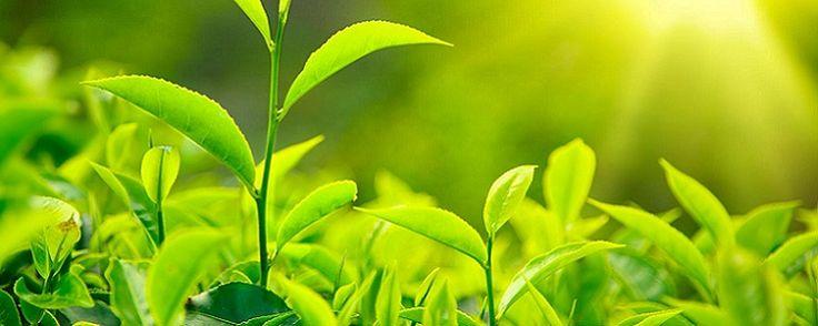 """Mas afinal, o que é Fotossíntese? - Entendendo a fotossíntese Sempreque lemos algum artigo sobre plantas ou assuntos adjacentes como pragas e doenças em vegetais, nos deparamos com essa fotossíntese.Mas o que é fotossíntese? A palavra fotossíntese significa """"síntese pela luz"""" e refere-se ao fato de asplantasusarem a energia c... - http://aduboecologico.com/ecoblog/2016/10/21/mas-afinal-o-que-e-fotossintese/"""