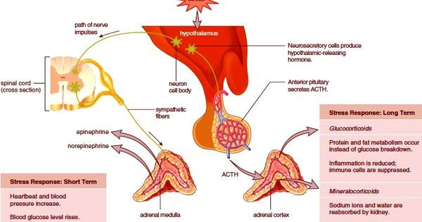adrenal medulla holistic images | Adrenal Glands. Adrenal Medulla. Adrenal Cortex | Nursing ...