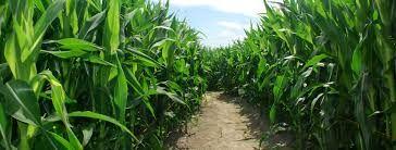 Image result for imagenes de primer plano siembras trigo maiz campo