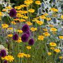 Garden ideas, Border ideas, Plant Combinations, Flowerbeds Ideas, Summer Borders, Sea Holly, Eryngium Giganteum, Allium sphaerocephalon, Drumstick Allium, Anthemis tinctoria, Golden Marguerite