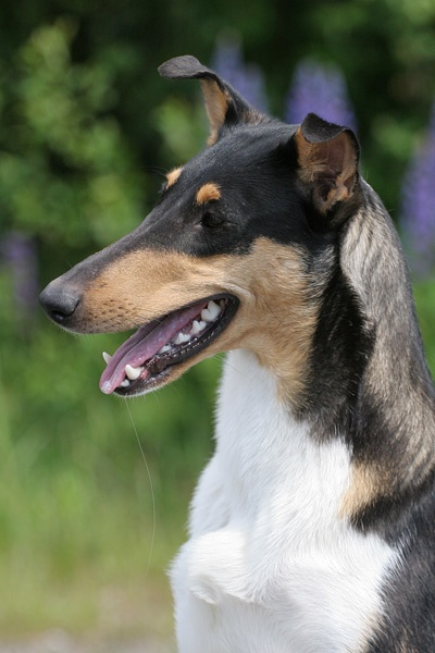 Smooth Collie::A breed originally developed for herding. It is a short-coated version of the Rough Collie of 'Lassie' fame. Some breed organisations consider the smooth-coat and rough-coat dogs to be variations of the same breed.