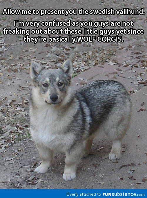 Wolf + Corgi = one supremely brave Corgi.