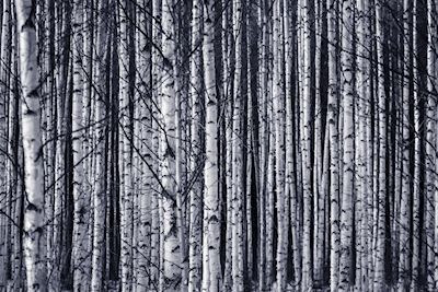 Håkan Johansson - Birches: A black and white photo of a forrest full of birch trees.
